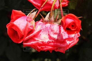 近くの花のアップの写真・画像素材[1105973]