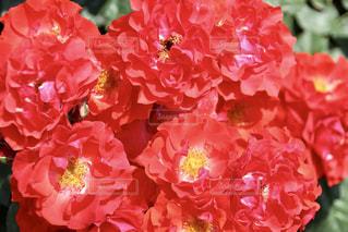 近くの花のアップの写真・画像素材[1111593]