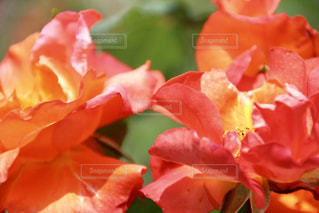 近くの花のアップの写真・画像素材[1111594]