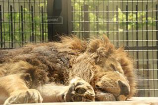 眠るライオンの写真・画像素材[1162093]