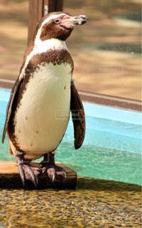 ペンギンの写真・画像素材[1162109]