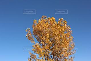 青空と銀杏の写真・画像素材[1377902]