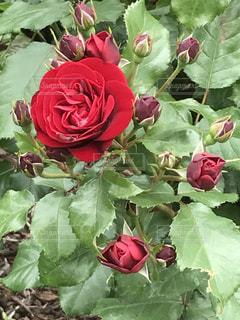 近くの花のアップの写真・画像素材[716113]