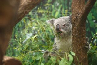 森のコアラの写真・画像素材[716317]