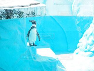 ペンギンの写真・画像素材[1093341]