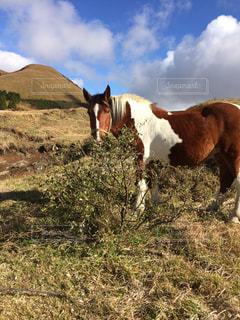 芝生のフィールドに茶色と白の馬立っての写真・画像素材[726276]