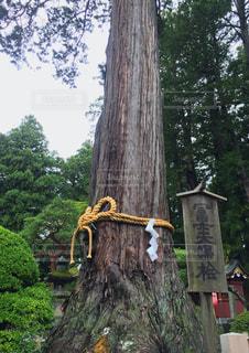 浅間神社の富士夫婦桧の写真・画像素材[761299]