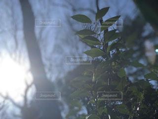 冬の太陽と木々の写真・画像素材[1737452]