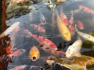 集まってきた鯉たちの写真・画像素材[1813086]