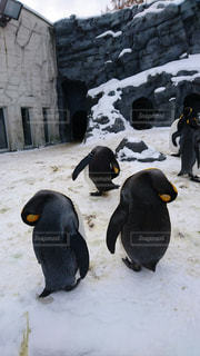 ペンギンの昼寝の写真・画像素材[717961]