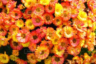 近くの花のアップの写真・画像素材[984792]