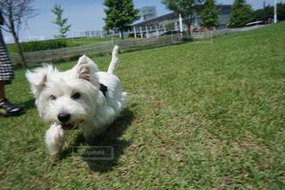 茶色と白犬のフリスビーをくわえて運ぶの写真・画像素材[723183]