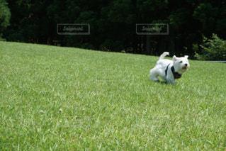 芝生のフィールドで犬の写真・画像素材[723186]