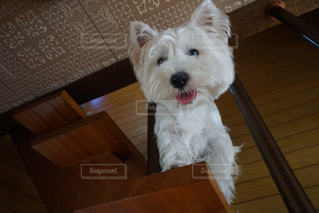 茶色と白の犬をテーブルの上に座っての写真・画像素材[787291]