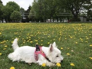 草の中に座っている小さな白い犬の写真・画像素材[1180851]