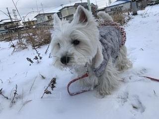 雪の中で小さな白い犬の地位の写真・画像素材[1764881]
