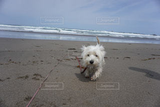 浜辺に立っている小さな白い犬の写真・画像素材[2204740]