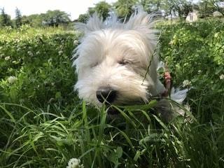 草の上に立っている小さな白い犬の写真・画像素材[2259972]