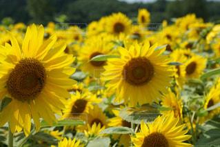 黄色い花の写真・画像素材[2365700]