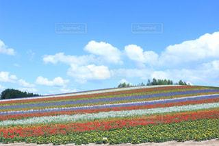 美瑛 四季彩の丘の写真・画像素材[718448]