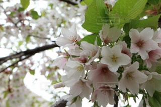 桜のアップの写真・画像素材[718978]