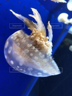 クラゲの宙返りの写真・画像素材[1016933]