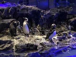 ペンギンの群れ - No.719530