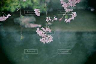 川桜の写真・画像素材[1138792]