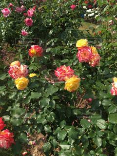 カラフルなバラの写真・画像素材[719550]