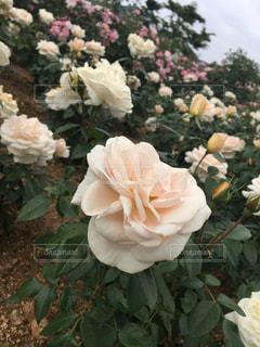 近くの花のアップの写真・画像素材[720577]