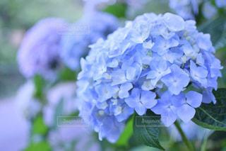 紫陽花の写真・画像素材[1147400]