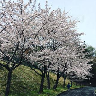公園の大きな桜の木の写真・画像素材[720117]
