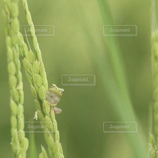 稲につかまる蛙 - No.727031