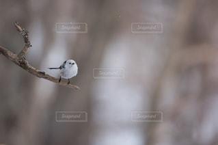 木の枝にとまるシマエナガの写真・画像素材[733193]