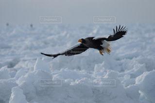 空を飛んでいる大鷲の写真・画像素材[733197]