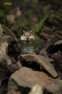 ほっぺパンパンのシマリスの写真・画像素材[2453532]