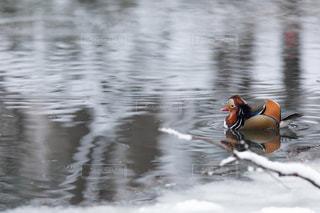 水の中を泳ぐオシドリの写真・画像素材[3580381]