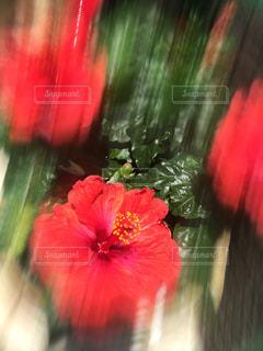 近くの花のアップの写真・画像素材[720527]