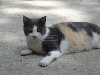 白い面の上に横たわる猫の写真・画像素材[720621]