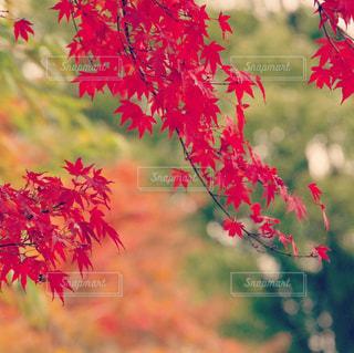 赤い葉の写真・画像素材[889633]