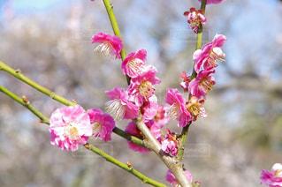 梅の花の写真・画像素材[1060997]