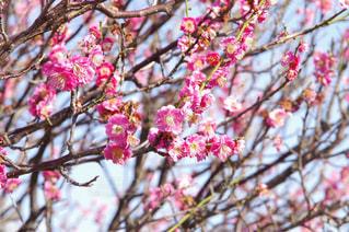 春の訪れを感じる梅の花の写真・画像素材[1060998]
