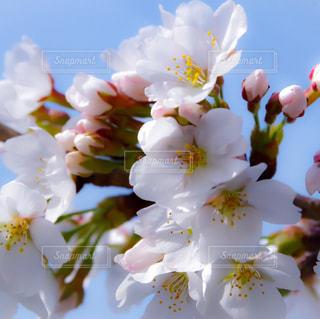 桜の花びらの写真・画像素材[1090307]