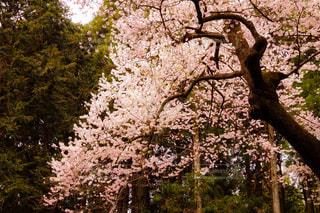 森の中に咲く、一本桜の写真・画像素材[1100548]