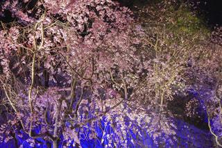 ライトアップされた綺麗な夜桜の写真・画像素材[1100554]