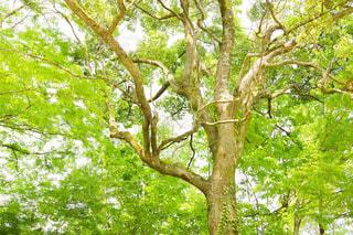 緑いっぱいの大きな木の写真・画像素材[1153072]