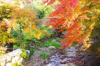 色づいている川辺の紅葉の写真・画像素材[1664763]