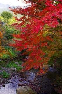 川沿いの紅葉の写真・画像素材[1664764]