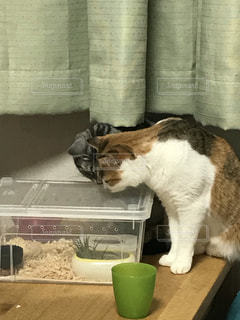 テーブルの上に座って猫の写真・画像素材[721367]
