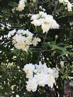 植物の白い花の写真・画像素材[721709]